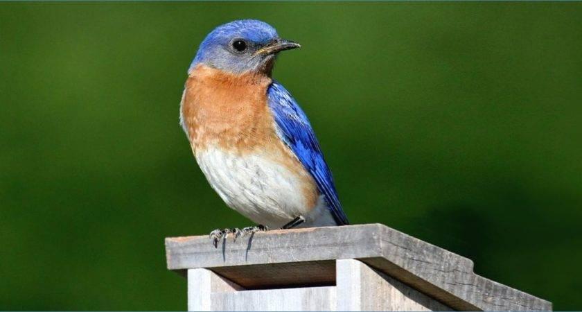 Blue Jay Bird House Plans Fancy Decoration