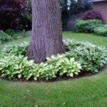 Hostas Around Trees Backyard